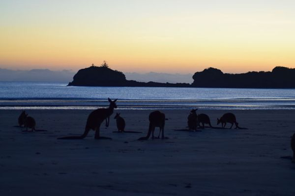 Kangaroos at Cape Hillsborough National Park